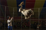 The goat climbs a ladder, walks the tightrope, stands on a mini platform and spins around while a monkey does a handstand on the goats' horns. The goat then walks the other side of the tightrope and comes down the other side.