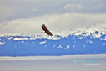 Bald Eagle over the inlet at Homer