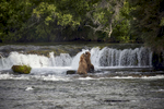 Bear Fight at the Falls