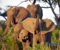 Elephants by the Zambeze