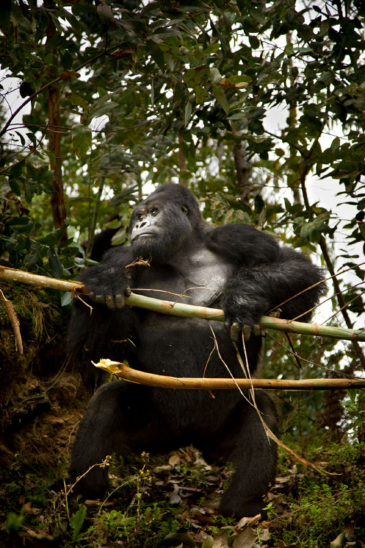 Silverback Standing Tall