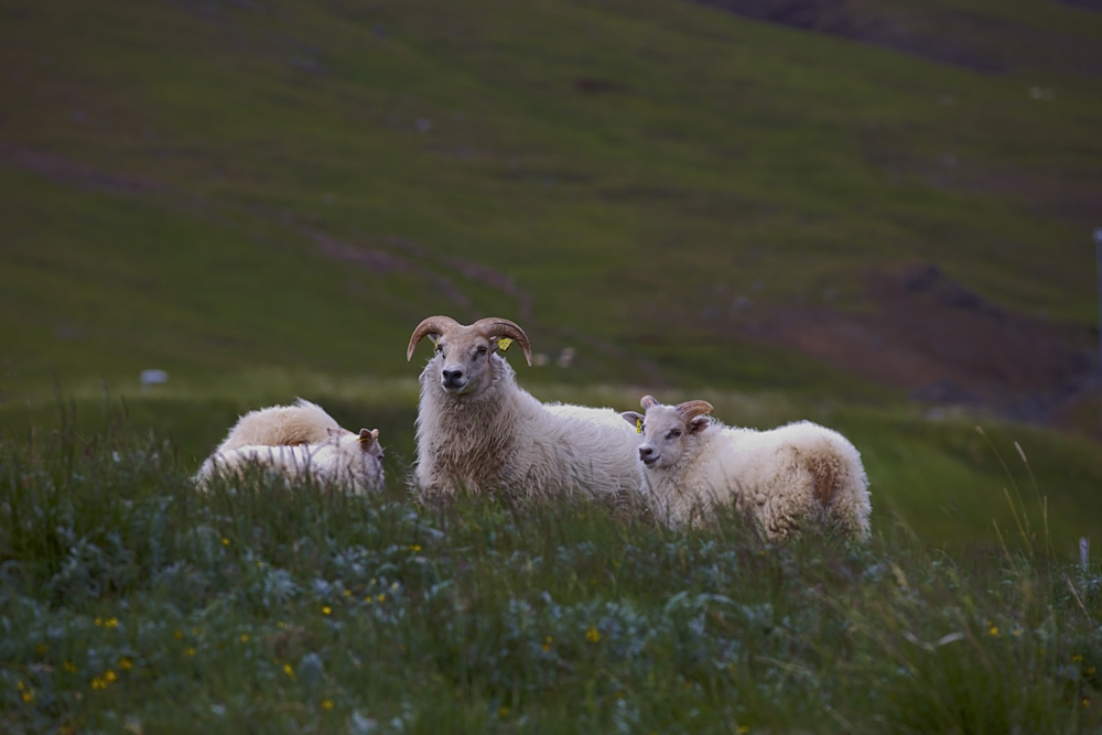 Sheep in the Meadow