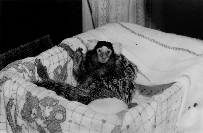 Common Marmoset, male, 2 years old