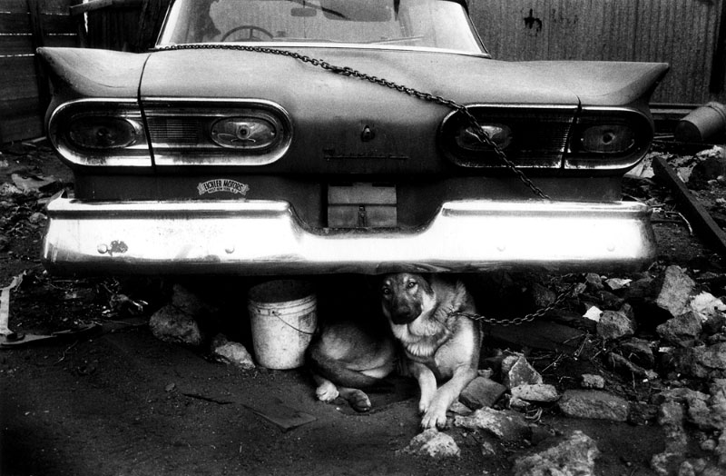 Chained Dog Under Car