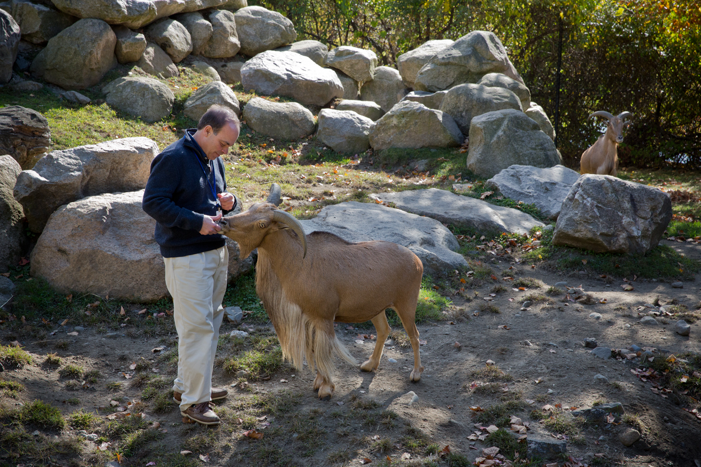 Dr. Virga and Molly, Barbary Sheep