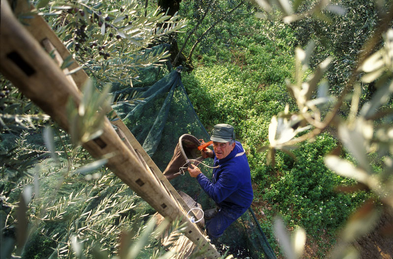 Olive-picker-copy