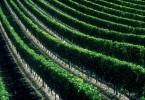 Vineyard-rows-copy
