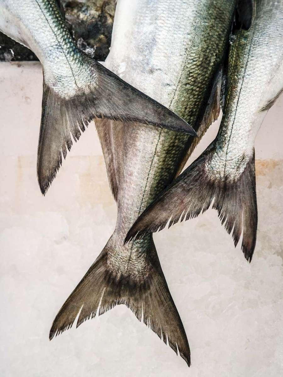 bluefish_tails