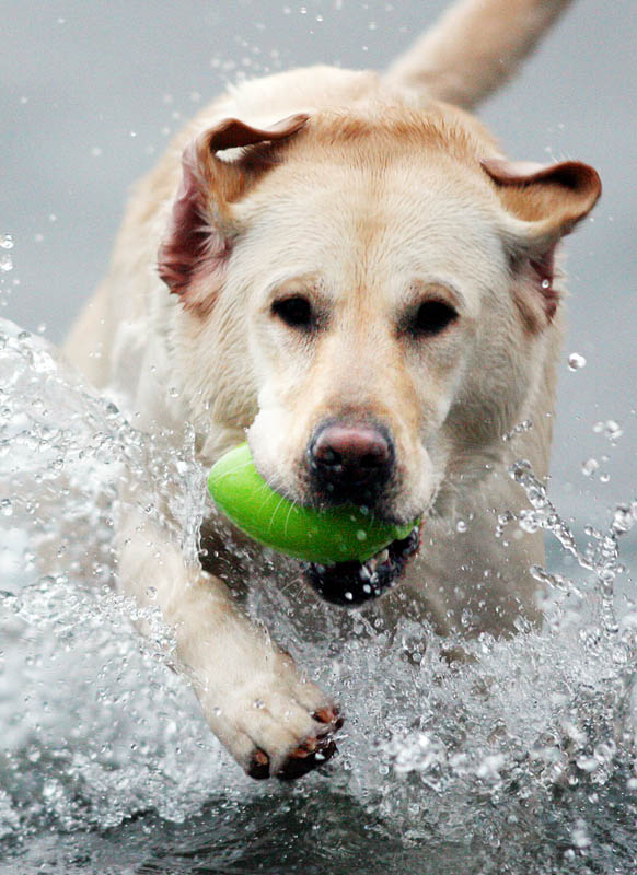 A labrador dog fetches a ball