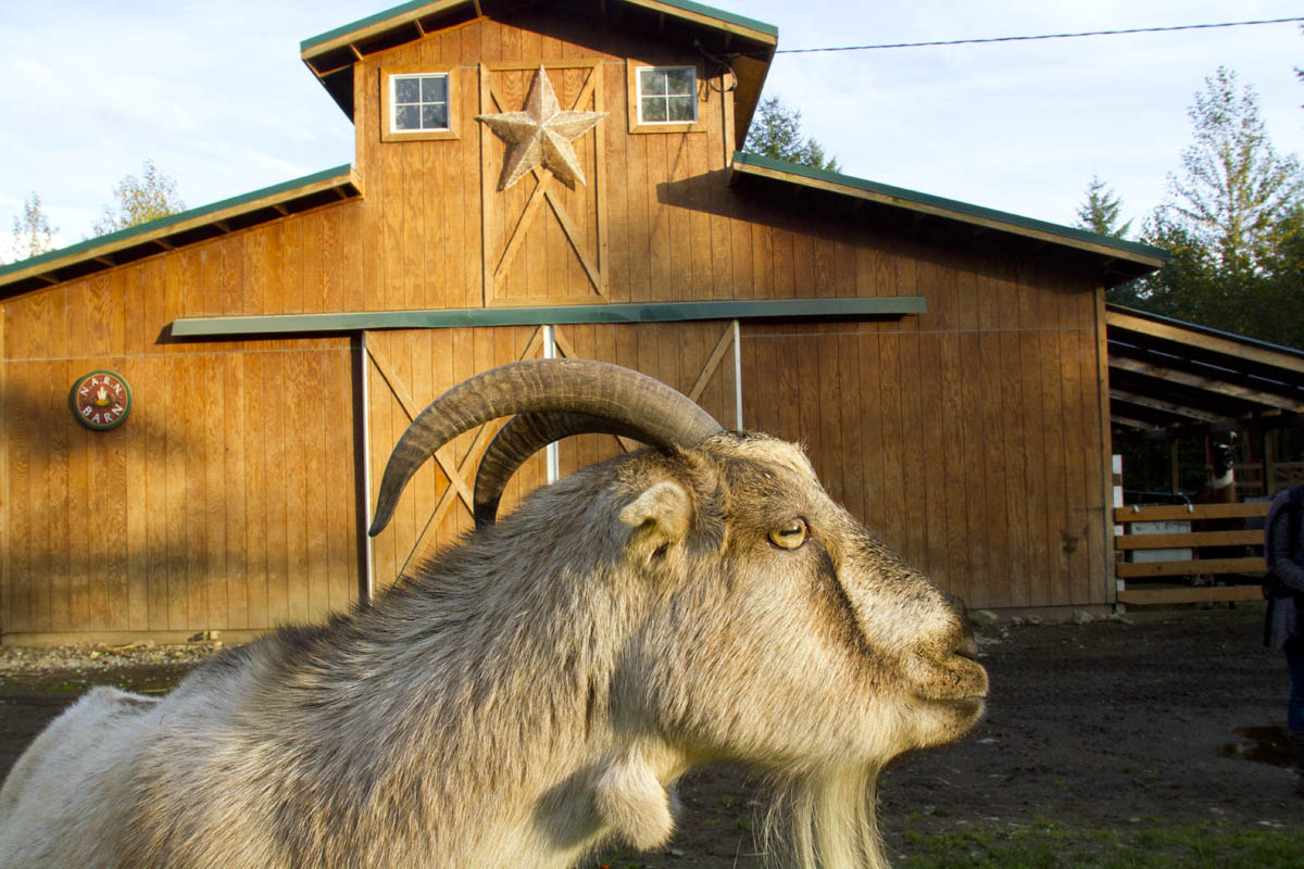 A goat at Pasados Safe haven in Sultan, WA