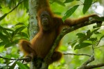 Young adult female Bornean Orangutan (Pongo pygmaeus) hanging out in a tree.