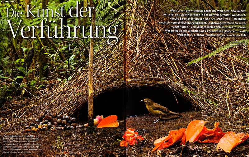 --  This article is about different species of bowerbirds which are found in Northern Australia and Papua region.