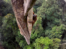 Winner of the Nature Stories Category at World Press Photo 2016:  See winning gallery at World Press Photo.An endangered young male Bornean Orangutan climbs over 30 meters up a tree deep in the rain forest of Gunung Palung National Park, West Kalimantan, Indonesia (Island of Borneo).