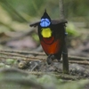 This short was produced by Cornell Lab of Ornithology in 2012 as in introduction to The Birds of Paradise Project.