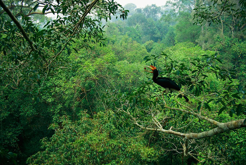 A young rhinoceros hornbill (Buceros rhinoceros) tosses up a fig in the forest canopy.