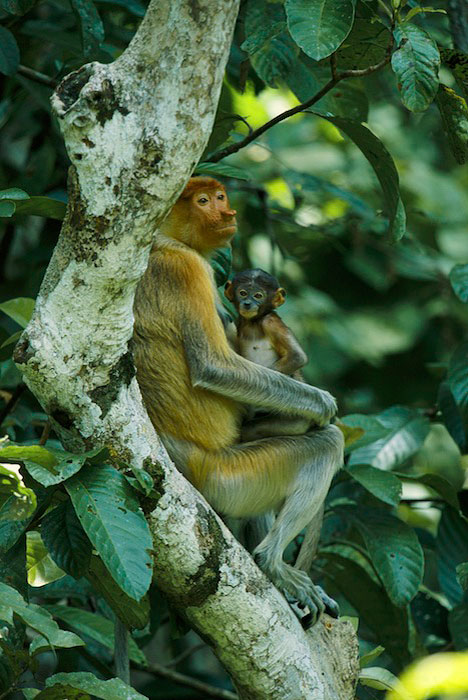 A proboscis monkey (Nasalis larvatus) and her four-week-old baby at rest in a tree.