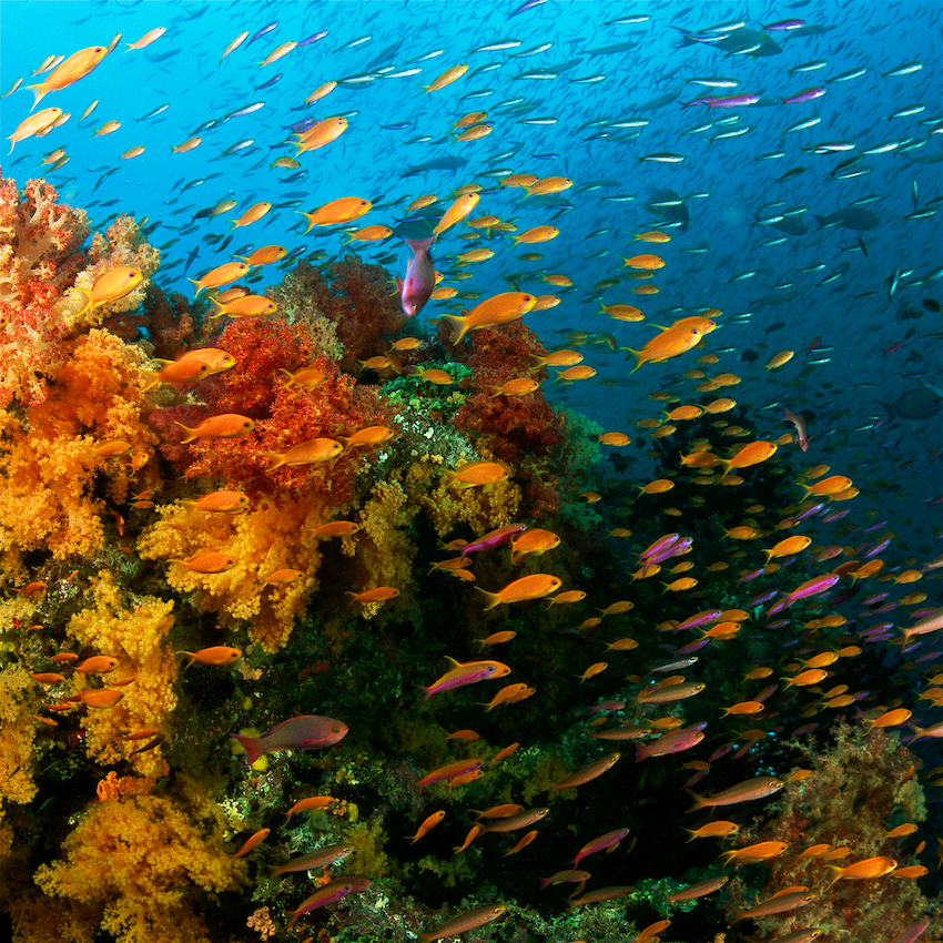 Reef scene teeming with schools of anthias and fusilier fish.