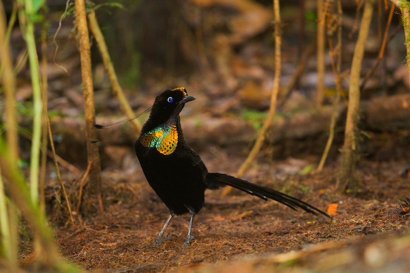 Wahnes Parotia Bird-of-Paradise (Parotia wahnesi) male at his display court.Purchase an unsigned print.