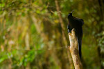 Black Sicklebill BIrd-of-Paradise (Epimachus fastuosus).  Adult male perched on his display pole.Purchase an unsigned print.