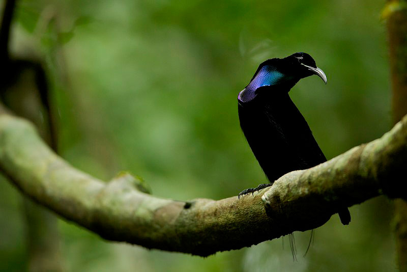 Magnificent Riflebird Bird-of-Paradise (Ptiloris magnificus) perched on his display vine.Purchase an unsigned print.