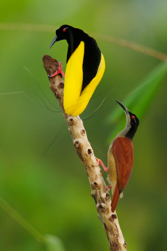 Twelve-wired Bird-of-Paradise (Seleucidis melanoleuca) male displaying to a female.Purchase an unsigned print.
