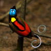 Wilson's Bird-of-Paradise (Cicinnurus respublica) adult male on the main display pole in the center of his court.Purchase an unsigned print.