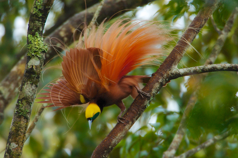 Raggiana Bird-of-Paradise (Paradisaea raggiana)Adult male at his display site:  performing display.Purchase an unsigned print.