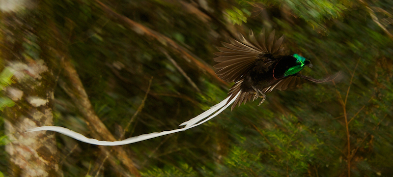 Ribbon-tailed Astrapia (Astrapia mayeri) adult male in flight in the montane rain forest near Tomba Pass, Papua New Guinea.Purchase an unsigned print.