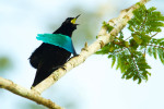 A Superb Bird-of-Paradise (Lophorina superba) adult male calling.Purchase an unsigned print.