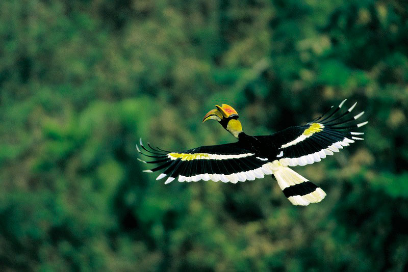 Great hornbill (Buceros bicornis) male in flight.