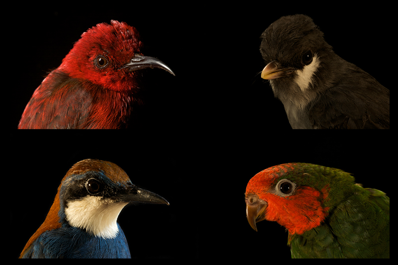 Top Left - Red Myzomela (Myzomela cruentata)Top Right - Ashy Robin (Poecilodryas albispecularis)Bottom Left - Chestnut-backed Jewel-babbler (Ptilorrhoa castanonotus)Bottom right - Unidentified Parakeet