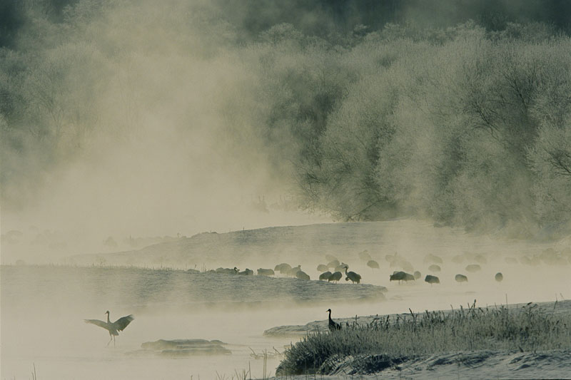 Roosting Red-crowned Cranes (Grus japonensis) awake to the dawn mist on the Setsuri River, Hokkaido.