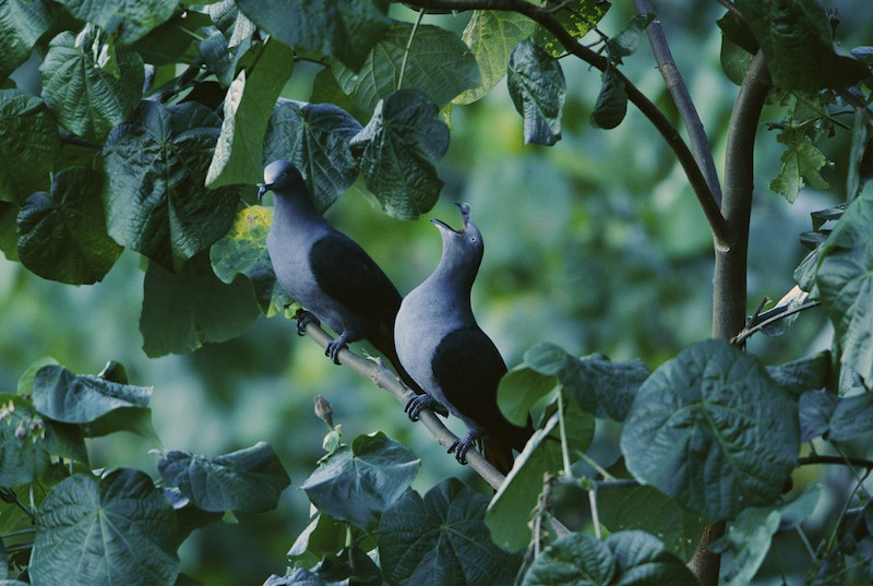 Two endangered Marquesan Impearial-pigeons (Ducula galeata) calling from a tree on Huka Hiva Islands, Marquesas Islands.