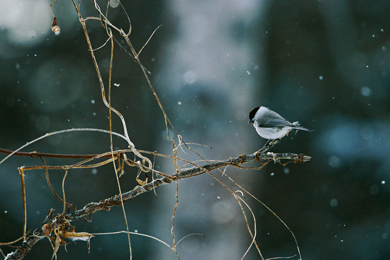 A willow tit (Parus montanus) in a light snowfall.