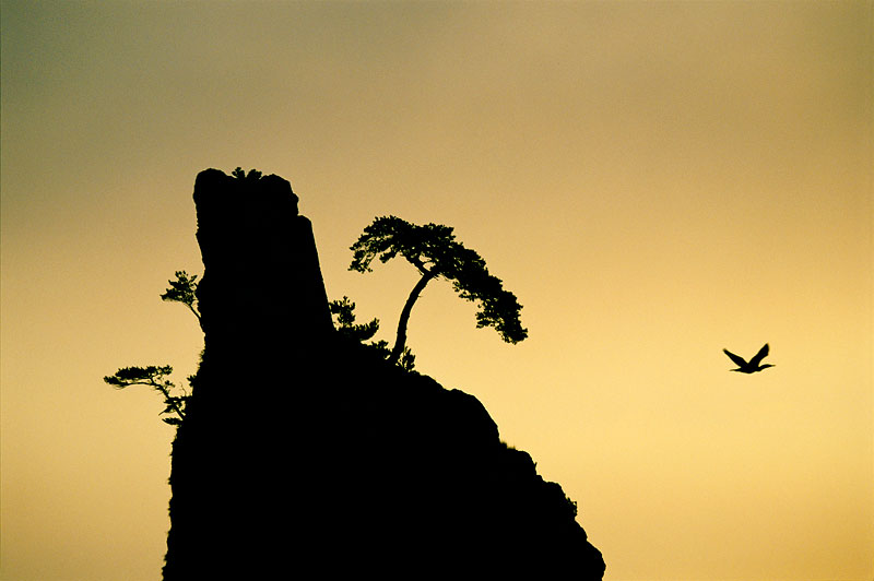 Cliff, pine, and passing cormorant.