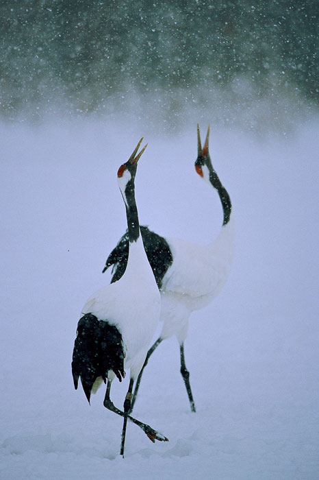 A pair of Red-crowned Cranes (Grus japonensis) perform a unison dance in a snowstorm.