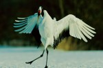 A Red-crowned Crane (Grus japonensis) bows during a mating dance.