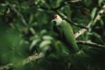 A palauan fruit dove (Ptilinopus pelewensis) perches on a tree branch in a tropical foreest of the Republic of Palau.