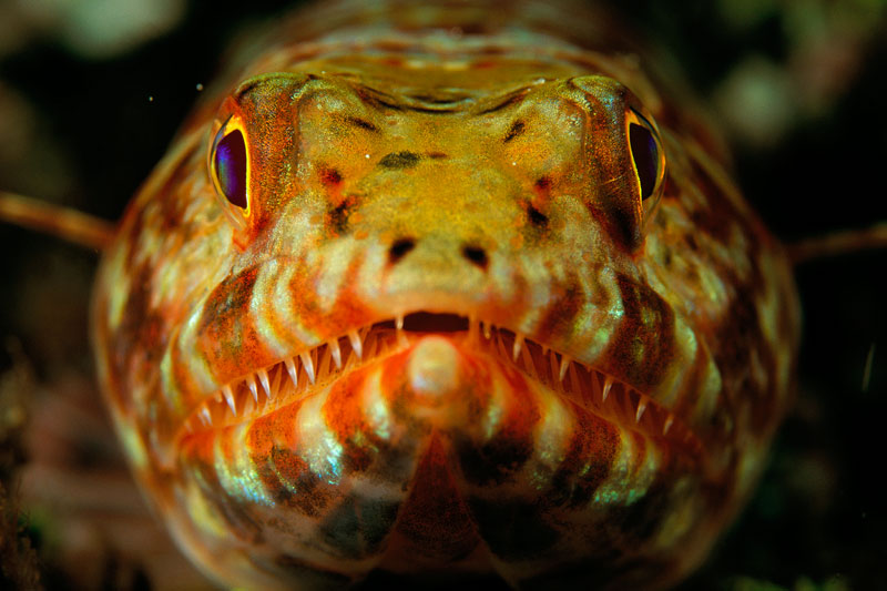 Close-up of the head of a Variegated Lizardfish (Synodus variegatus)