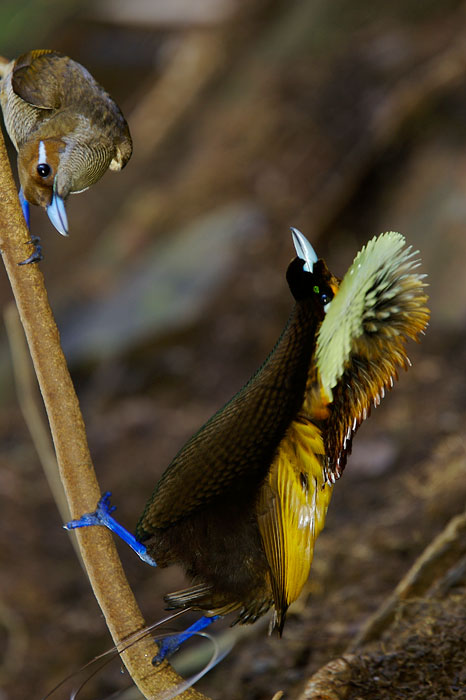 Magnificent Bird of Paradise (Cicinnurus magnificus) male displaying to female.Purchase an unsigned print.