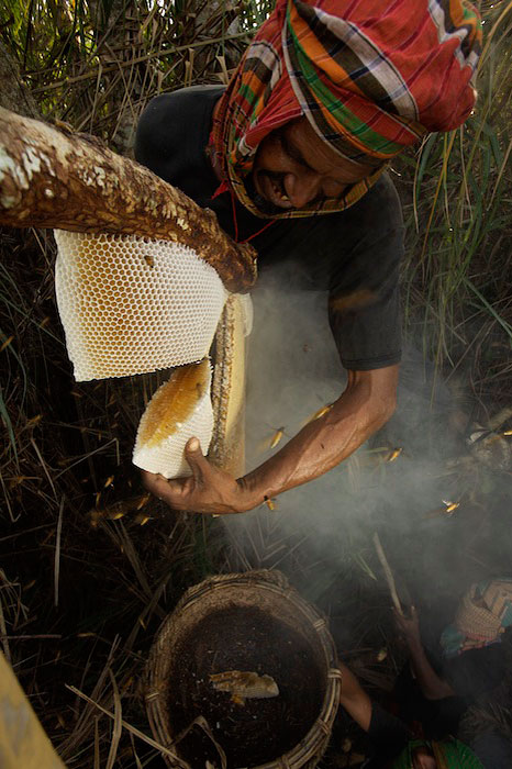 Collecting honey from a honeycomb of the Giant Honeybee (Apis dorsata) using a bush knife to cut the comb, and a basket to catch the honey and comb.