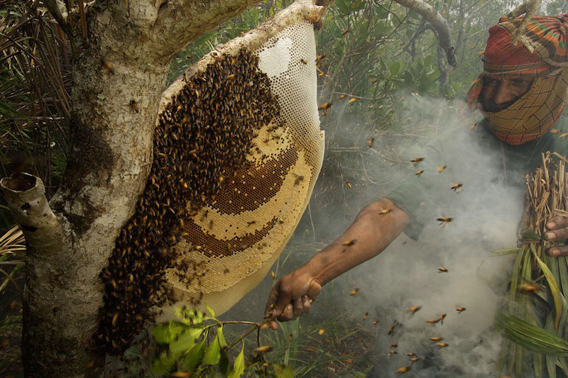 Collecting honey from a honeycomb of the Giant Honeybee (Apis dorsata) using smoke to subdue the bees, and a bush knife to cut the comb.