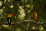 Two Brown-winged Kingfishers perch on the same branch.  Possible beginning of courtship behavior.