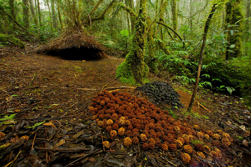 Bower of a Vogelkopf Bowerbird (Amblyornis inornatus) decorated with large spread of red/orange colored fruits of a type eaten by cassowaries, and a pile of black fungi.