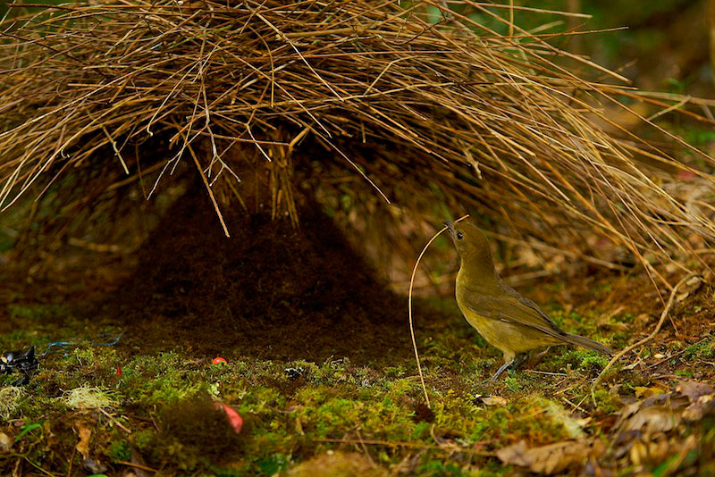 Male Vogelkopf Bowerbird (Amblyornis inornatus) at a new bower which he is constructing with a stick to add to the bower.