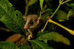 A long-tailed pygmy-possum (Cercartetus c.f. caudatus) in the Foja Mountains.