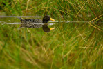 The endangered Salvadori's teal (Anas waigiuensis) in the bog pond with a perfect reflection.