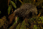 A critically endangered long-beaked echidna (Zaglossus bartoni) searching for worms at night.