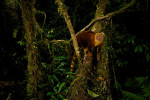 The critically endangered Golden-mantled tree-kangaroo (Dendrolagus goodfellowi pulcherrimus) was photographed by a camera trap.