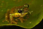 A Spike-nosed tree frog, also know as the {quote}Pinocchio Frog{quote}, was a new discovery in the Foja Mountains.